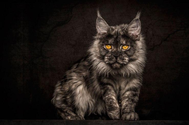 maine-coon-cat-photography-robert-sijka-44-57ad8f07a5108__880